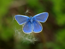 Blue Butterfly Royalty Free Stock Images