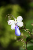Blue Butterfly flower Stock Photo