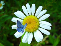 Blue butterfly and flower Royalty Free Stock Image