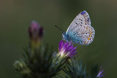 Blue butterfly on flower Stock Photos