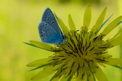 Blue butterfly. Butterfly flower grass nature insect yellow blue macro Stock Photo