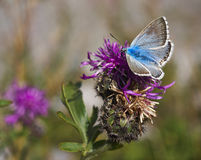 Blue Butterfly on Flower Royalty Free Stock Photo