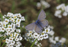 Blue butterfly on flower Royalty Free Stock Photography