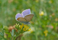 Blue butterfly on flower Stock Photography