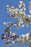 Blue butterfly and flowers Royalty Free Stock Images
