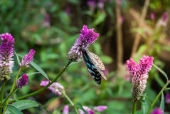 Blue butterfly fly in morning nature Royalty Free Stock Photography