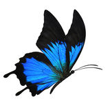 Blue butterfly flying. Beautiful blue butterfly flying isolated on white background stock photo