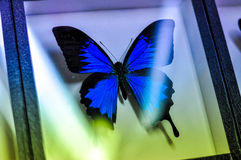 Blue butterfly in a glass. Blue butterfly rests in a glass-dried. collection Royalty Free Stock Photography