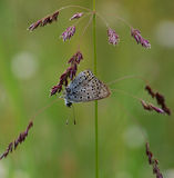 Blue butterfly on the grass Stock Photo