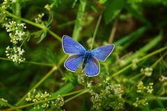 Blue butterfly in grass. stock images