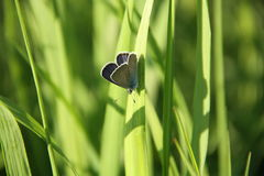 Blue butterfly on grass Royalty Free Stock Images