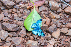 Blue butterfly on green leaf Royalty Free Stock Images