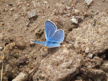 A blue butterfly. Stock Photo
