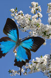 Blue butterfly on hand Royalty Free Stock Photos
