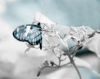 Blue butterfly in infrared on white branch. Blue butterfly on a white branch in infrared stock photography