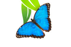 Blue butterfly. Butterfly isolated - Peleidas blue morpho Stock Photo
