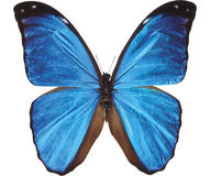 Blue butterfly isolated on white royalty free stock photos