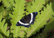 blue butterfly on leaf Royalty Free Stock Photography