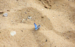 Blue butterfly Stock Image