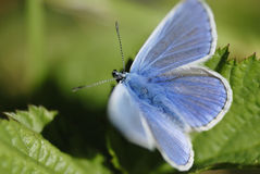 Blue butterfly (Lycaenidae family) in sunlight. Royalty Free Stock Photography