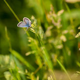 Blue Butterfly in the Meadow. Stock Photography