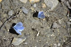 Blue butterfly in the moisture of the earth royalty free stock image
