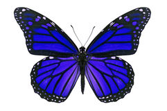 Blue Butterfly. Blue monarch butterfly isolated on white background stock photography