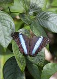 Blue butterfly, a Morpho's species, French Guiana Stock Photography