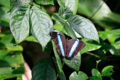 Blue butterfly : a Morpho's species, French Guiana. Blue butterfly : a Morpho's species probably a Morpho richardus, seen along Oiapoque river on the border with royalty free stock photo
