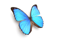 Blue butterfly. Blue morpho butterfly on white background Royalty Free Stock Photography