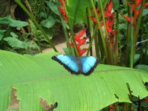 Blue butterfly. Nice blue butterfly photo detail stock photography