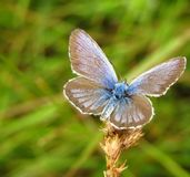 Brown butterfly on grass. A brown butterfly perching on a grass plant on a field on a summer day Stock Image