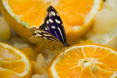 Blue Butterfly on Orange Slices. Bright blue butterfly on a plate of orange slices & other fruit Stock Images