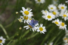 Blue Butterfly on an Oxeye Daisy. Polyommatini is a tribe of lycaenid butterflies in the subfamily Polyommatinae. They were extensively studied by Russian Royalty Free Stock Photos