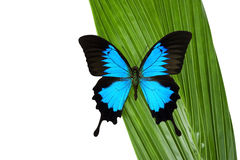 Blue Butterfly (Papilio Ulysses) Stock Image