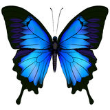 Blue butterfly papilio ulysses. Mountain Swallowtail isolated Royalty Free Stock Image