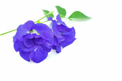 Blue Butterfly Pea stock image