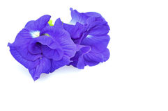 Blue Butterfly Pea Stock Photos