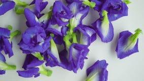 Blue butterfly pea flowers stock footage