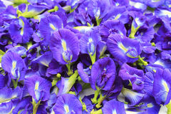 Blue Butterfly Pea Flowers Stock Photography