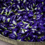 Blue Butterfly Pea Flowers for Herbal Shampoo Stock Photo