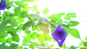 Blue butterfly pea flowers tree plant stock footage