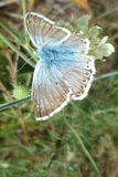 Blue butterfly. This photo shows blue and grey butterfly - ,,Polyommatus icarus Royalty Free Stock Images