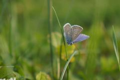 Blue butterfly. This is a blue butterfly ,picture is taken with sony nex in my garden Stock Photo