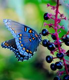 Blue Butterfly. On poke salad berries Stock Images
