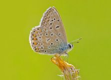 Blue butterfly (Polyommatus icarus) Royalty Free Stock Photo