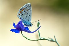 The blue butterfly Polyommatus icarus on a glade on a summer day on a field flower. The common blue butterfly Polyommatus icarus  on a glade on a summer day on a stock image