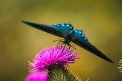 Blue Butterfly on Purple Flower. Late afternoon close up of blue butterfly on a purple flower Stock Image