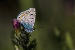 Blue butterfly on purple flower Stock Photo