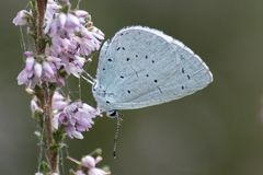 A blue butterfly on a purple flower stock photography